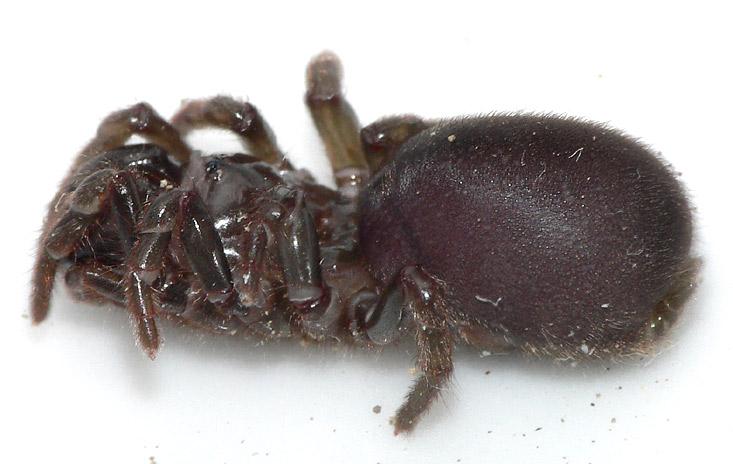Atypus affinis